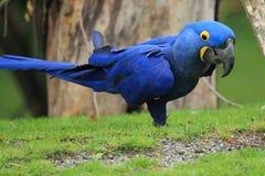 Hyacinthine macaw στοκ εικόνες με δικαίωμα ελεύθερης χρήσης
