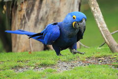 Hyacinthine macaw Stock Photography
