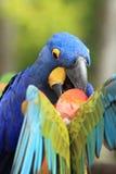 Hyacinthine macaw στοκ φωτογραφία