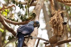 Hyacinthinus Anodorhynchus попугая ары гиацинта Стоковое фото RF