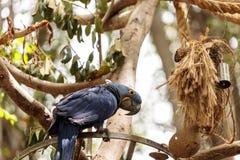 Hyacinthinus Anodorhynchus попугая ары гиацинта Стоковые Фотографии RF