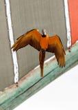 Hyacinthinus Anodorhynchus попугая ары гиацинта Стоковые Фото