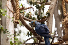 Hyacinthinus d'Anodorhynchus de perroquet de Hyacinth Macaw images libres de droits