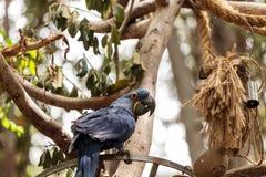 Hyacinthinus d'Anodorhynchus de perroquet de Hyacinth Macaw photos libres de droits