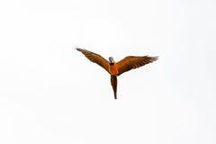 Hyacinthinus d'Anodorhynchus de perroquet de Hyacinth Macaw images stock