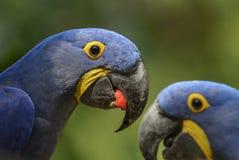 Hyacinthinus de Hyacinth Macaw - d'Anodorhynchus photos stock