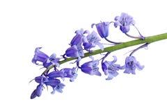 Hyacinthoides非scripta花 图库摄影