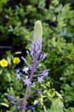 Hyacinthoides di Scilla Immagini Stock Libere da Diritti