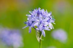 HYACINTHOIDES ITALICA цветка весны Стоковая Фотография RF