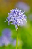 HYACINTHOIDES ITALICA цветка весны Стоковое Фото