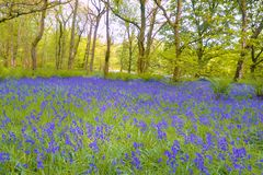 Hyacinthoides non-scripta. Or Bluebell carpeting a woodland floor in Lancashire royalty free stock photos