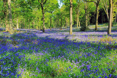 Hyacinthoides non-scripta. Bluebells covering Badby Woods Royalty Free Stock Images