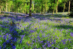 Hyacinthoides non-scripta. Bluebells covering Badby Woods Royalty Free Stock Photo