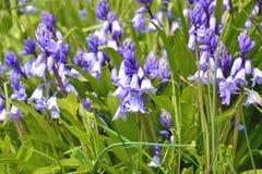 Hyacinthoides non-scripta - common bluebell royalty free stock photo