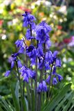 Hyacinthoideshispanica stock foto