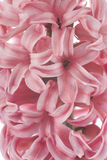 Hyacinths Stock Images