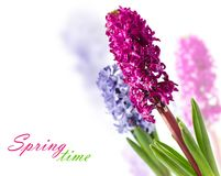 Hyacinths Fotografia de Stock Royalty Free