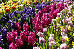 Hyacinths. A garden of colorful fragrant hyacinths with tulips and daffodils in the background Royalty Free Stock Photo