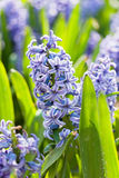 Hyacinths Stock Photography
