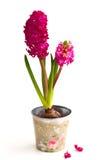 Hyacinths Royalty Free Stock Photo