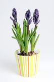 Hyacinths Stock Photos