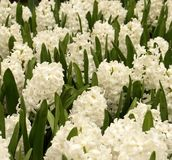 Hyacinths. Field of Hyacinths Stock Images