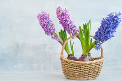 Hyacinths in a basket Stock Images