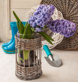 Hyacinths in a basket on a  background rubber boots Stock Photos