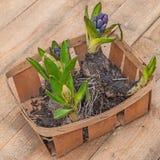 Hyacinths in basket Royalty Free Stock Photo