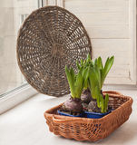 Hyacinths in a basket on the window Stock Images