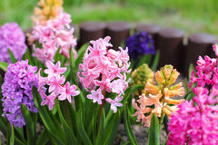 Hyacinths Blooming In The Garden Stock Image