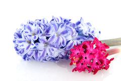 Hyacinths in blue  and pink Royalty Free Stock Image