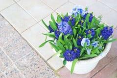 Hyacinths and blue viola royalty free stock photo