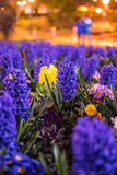 Hyacinths in Bournemouth Park Royalty Free Stock Photography
