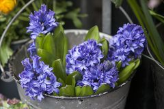 Hyacinths in a bucket for sale Stock Photo