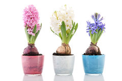 Hyacinths coloridos da fileira Imagem de Stock Royalty Free