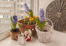 Hyacinths and crocuses on the window next to the watering can an Stock Photos
