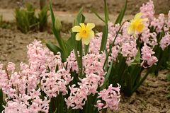 Hyacinths and daffodils in the garden stock image