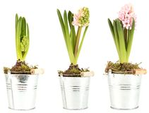 Hyacinths with different blossoms Stock Photography