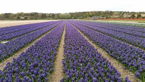 Hyacinths field in Holland Stock Images