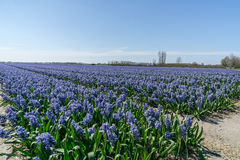 Hyacinths field in the Netherlands. Flower fields and bulbs growing in the Netherlands Stock Image