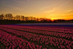 Hyacinths Field at Sunset stock photography