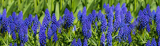 Hyacinths fields in the spring . Stock Photos