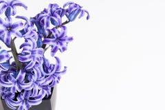 Hyacinths Stock Image