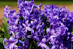 Hyacinths Royalty Free Stock Photos
