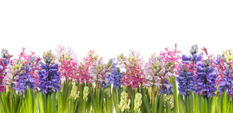Hyacinths flowers blooming in spring,banner, isolated. Hyacinths flowers blooming in spring,banner,border,panrama, isolated Stock Photos