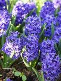 Hyacinths flowers Stock Photo