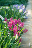Hyacinths flowers Royalty Free Stock Photography