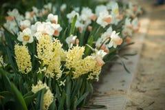 Hyacinths flowers Stock Image