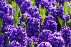 Hyacinths. In the gentle morning sun Stock Image